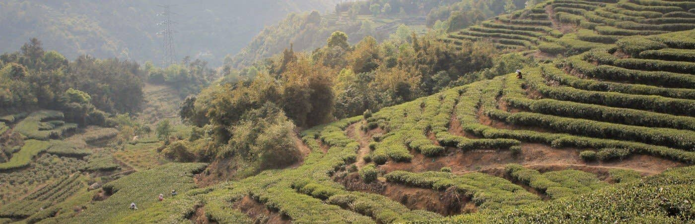 Tea Gardens of Fujian