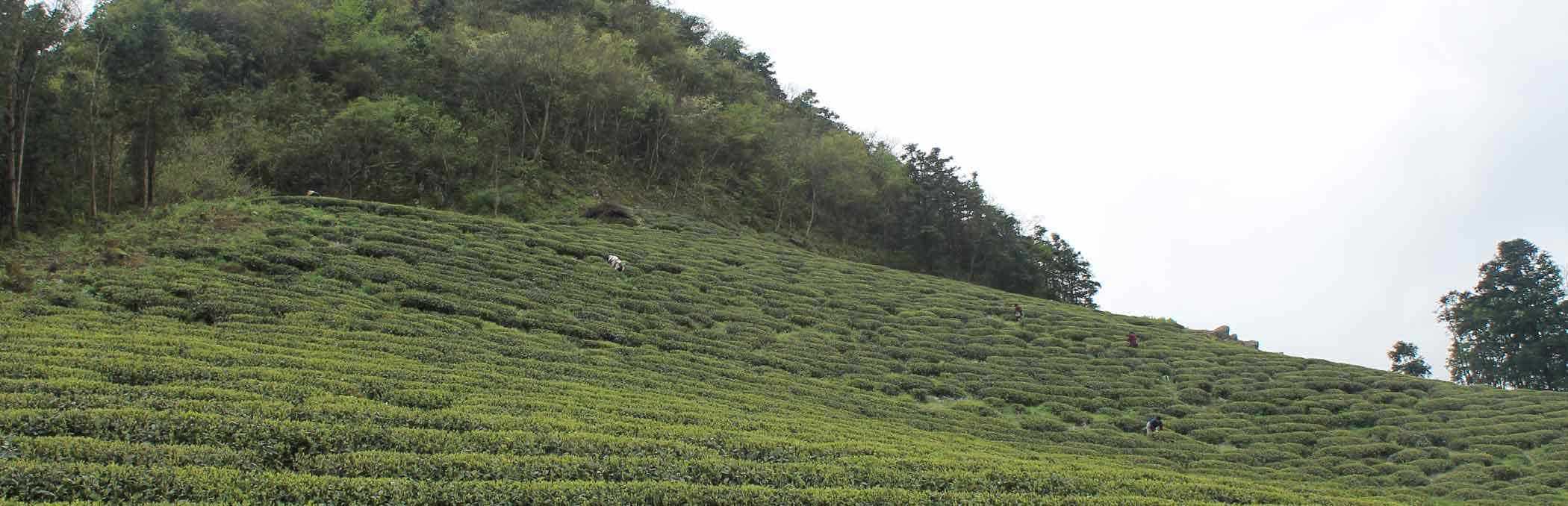Tea Gardens, Hangzhou China