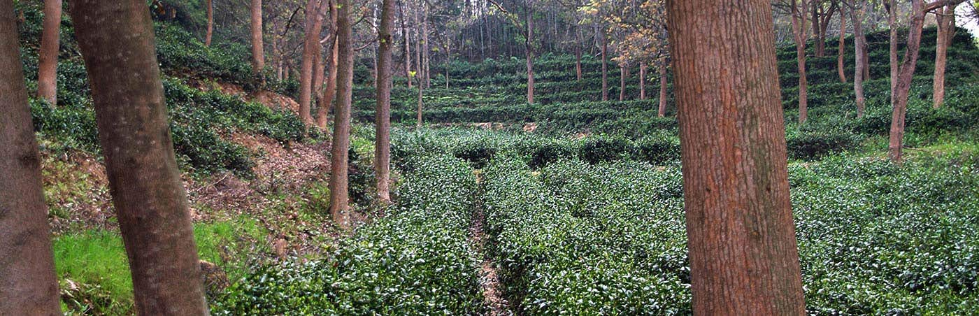 Our visit to Tea Gardens in Hunan, China